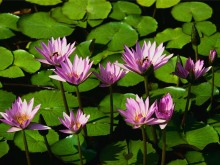 water-lilies8