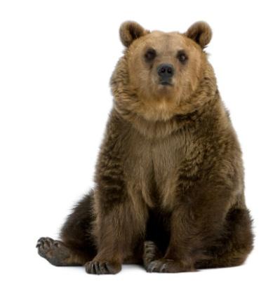 Bear sitting