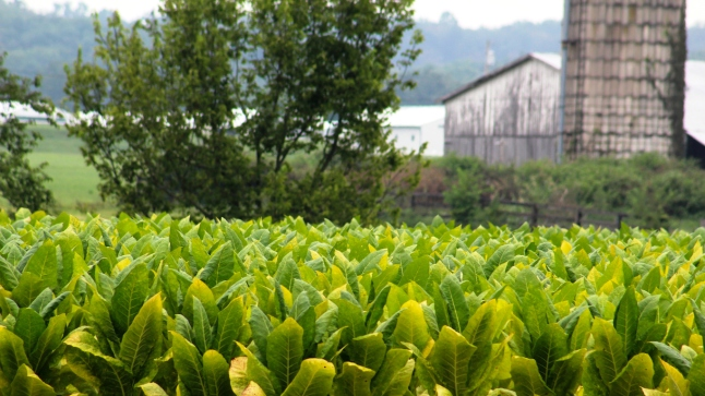 Kentucky Tobacco Field With Barn and Silo in Background