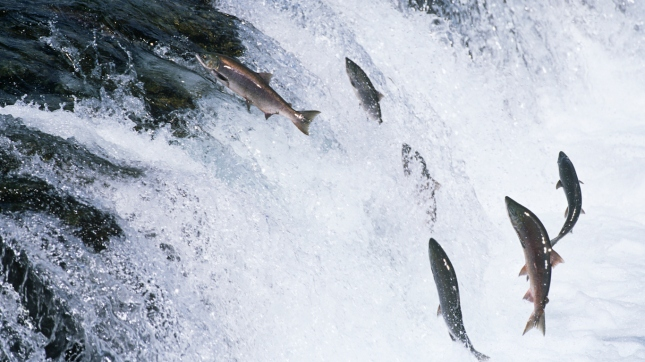 Group of Salmon jumping upstream in river, Alaska
