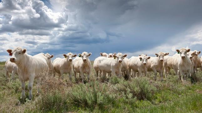 Charolais Beef Cattle, Colorado, USA