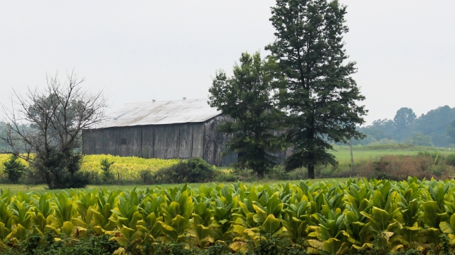 Kentucky Tobacco Field With Barn in Background