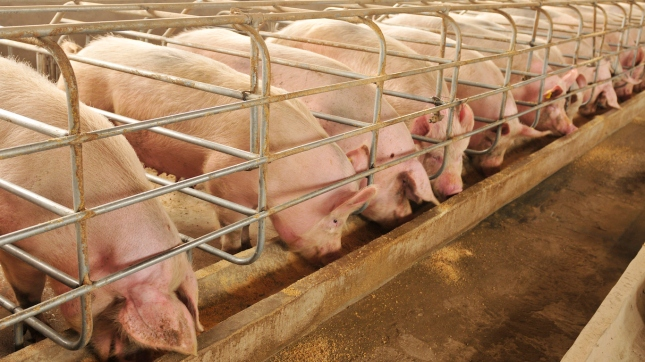 The farm pigs, Pork