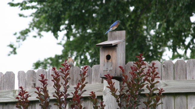 Bluebirds, Broken Arrow, Oklahoma