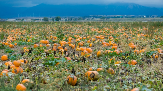 Pumpkin patch, Broomfield, Colorado