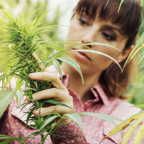 Woman holding hemp flowers, Marijuana plant, weed