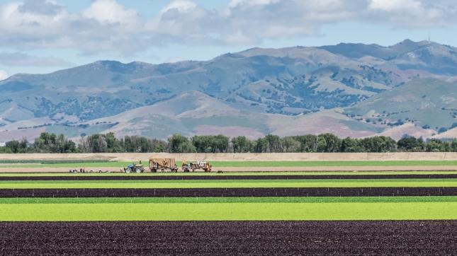 Lettuce Fields in Salinas Valley, California
