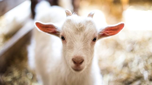 Baby Goat, Goat Farm