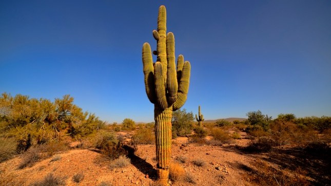 Yuma Arizona, USA - December 26, 2015: Giant Saguaro Cactus in the Kofa National Wildlife Refuge. Yuma Arizona USA.