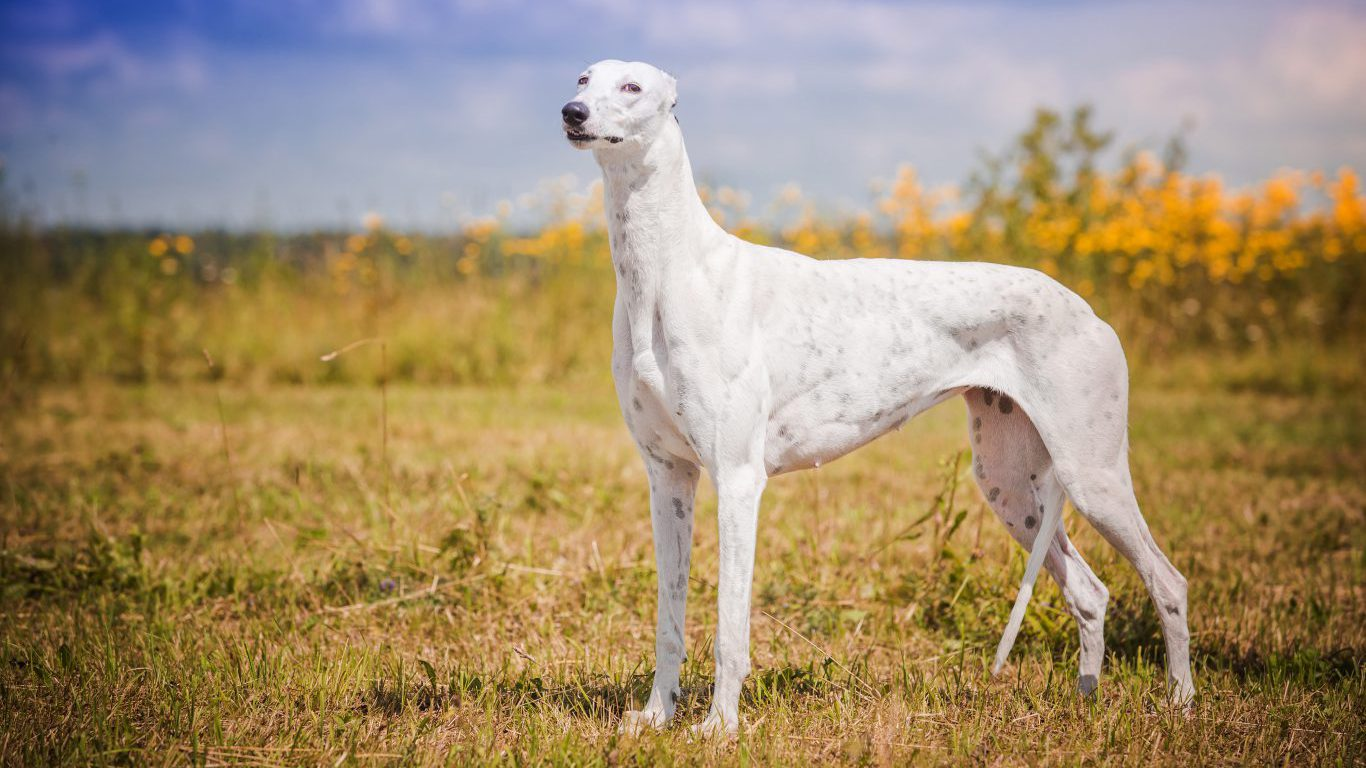 shortest  and longest  living dog breeds in the world  7 wall st