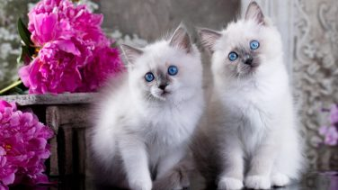 Shortest (and Longest) Living Cat Breeds | 24/7 Wall St