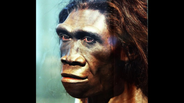 Homo erectus adult female - he... by Tim Evanson